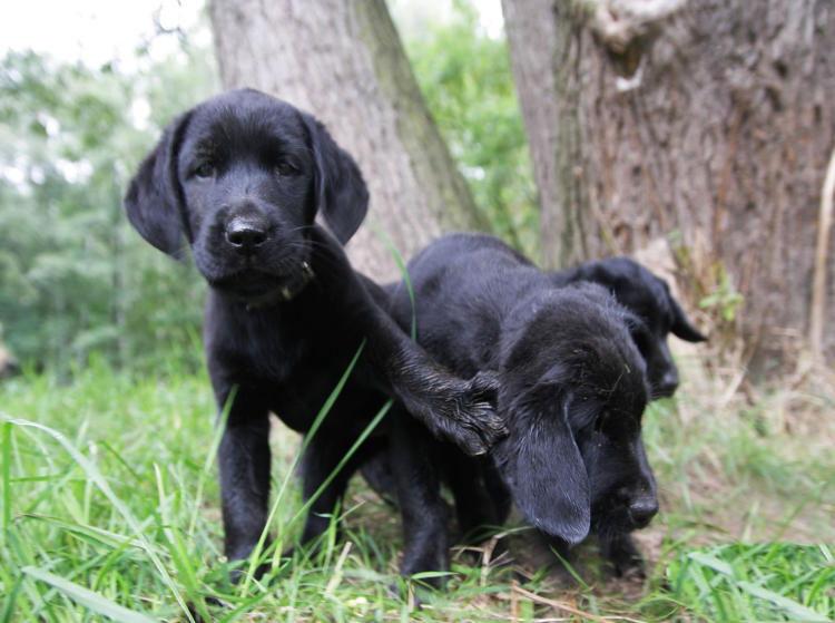 Labrador-Dame Ayla
