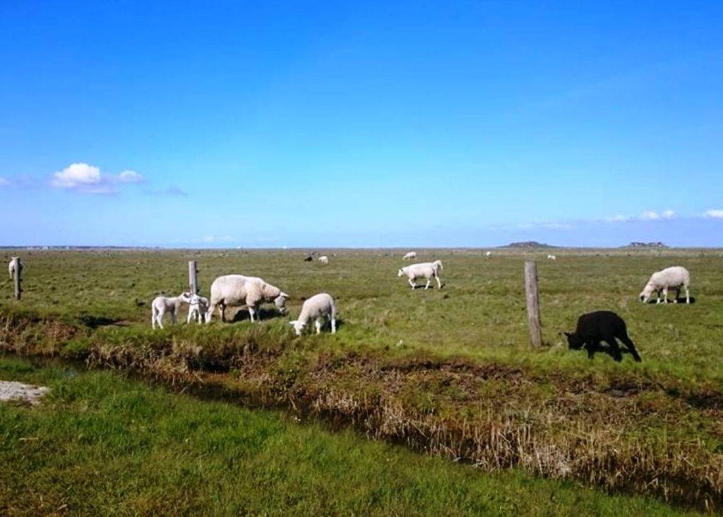 Hallig-Schafe - das schwarze ist mir sehr sympathisch