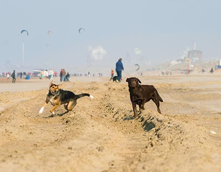 Hundestrande In Holland