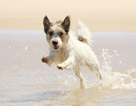 Jack russell Hund am Strand